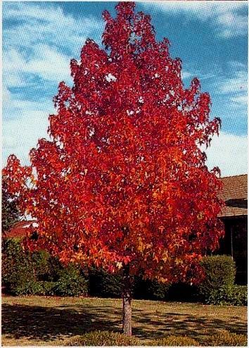 Liquid Amber Tree One Of The Few Trees That Give Great Autumn Color In Southern California Specimen Trees Amber Tree Trees To Plant