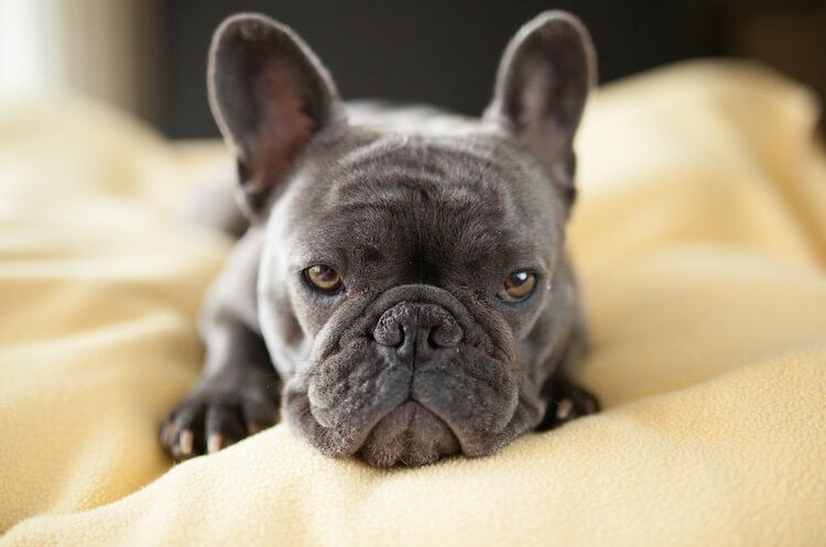 Blue French Bulldog Puppies, Price, Breeders, Health