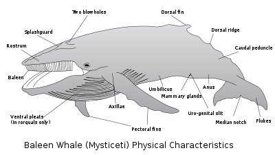 Baleen Whale Parts Diagram - Electrical Work Wiring Diagram •