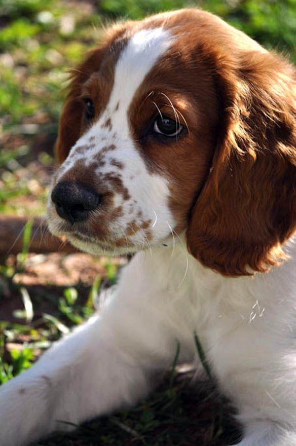 Welsh Springer Spaniel Wssca Showcase Taff Schattige Dieren Honden Hondjes