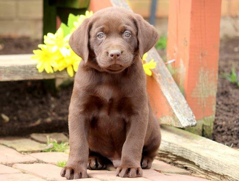 Labrador Retriever Puppy For Sale In Mount Joy Pa Adn 71970 On