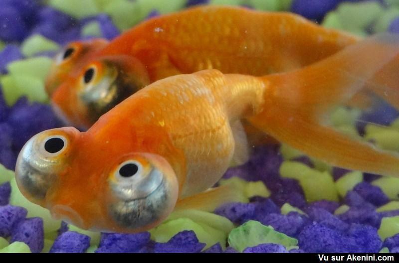 Lorgnette du ciel poisson fish animaux etranges - Animaux a gros yeux ...