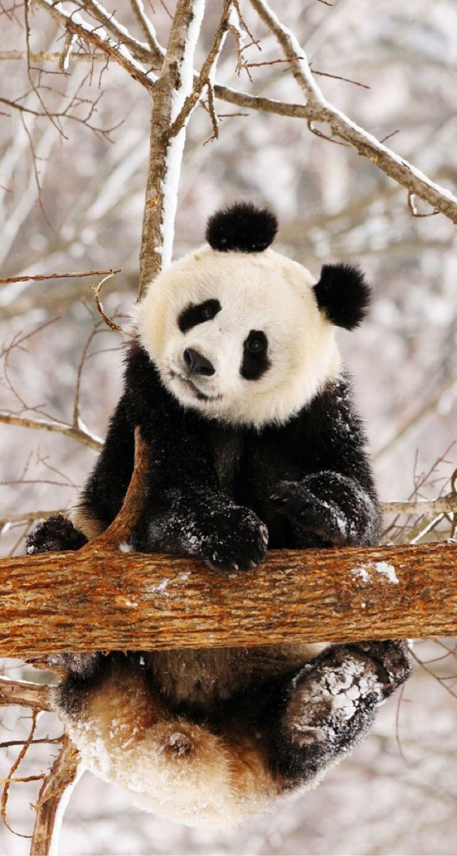 Pinned from Pin It for iPhone (With images) Panda bear