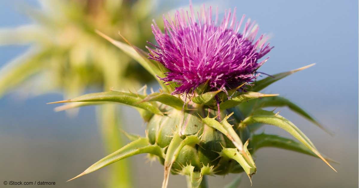 Milk thistle is an herb used to fight liver disease and reduce liver injury caused by a number of drugs and environmental toxins