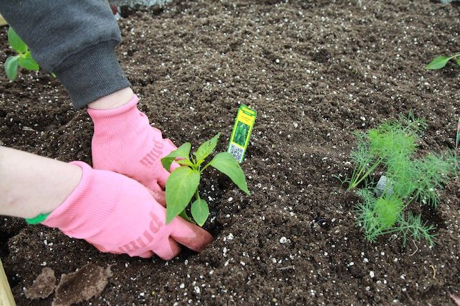 planting jalapeno at the bonnie plants trial garden this looks