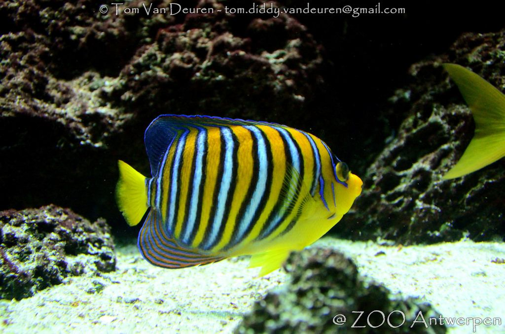 Pauwoogkeizersvis Pygoplites Diacanthus Royal Angelfish Angel Fish Fish Pet My Pictures