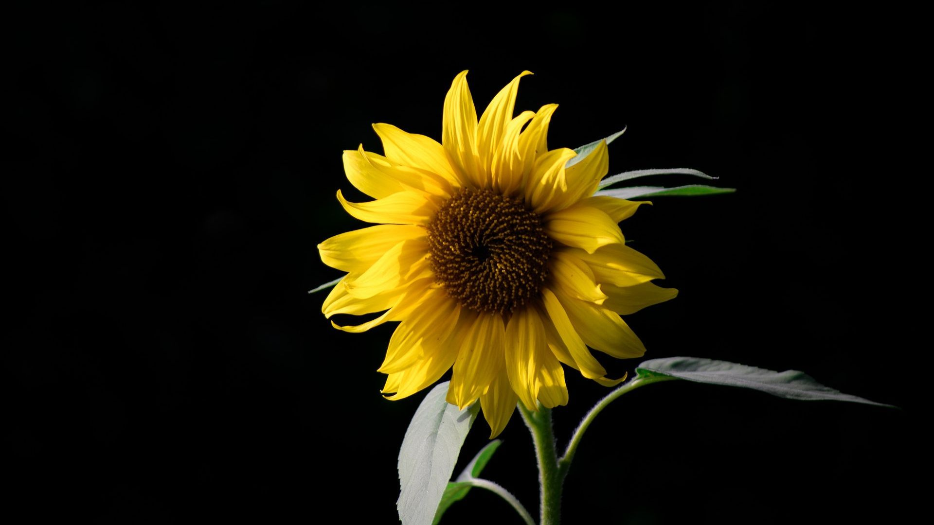 Sunflower with Black Background Wallpaper Sunflower