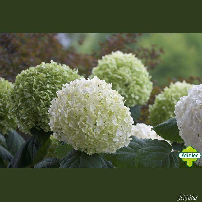 Hortensie 'Strong Annabelle' Incrediball® Hydrangea