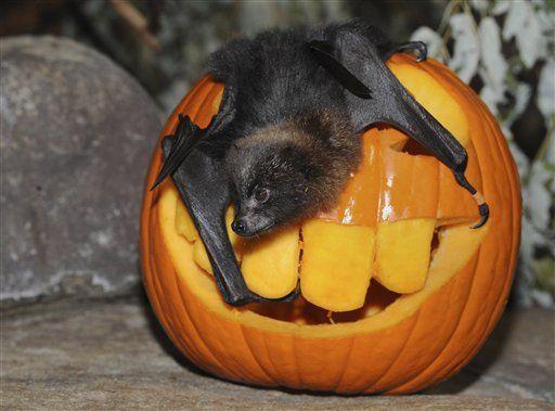 Another Bat Pumpkin Pumpkin Bat Animal Zoo Animals