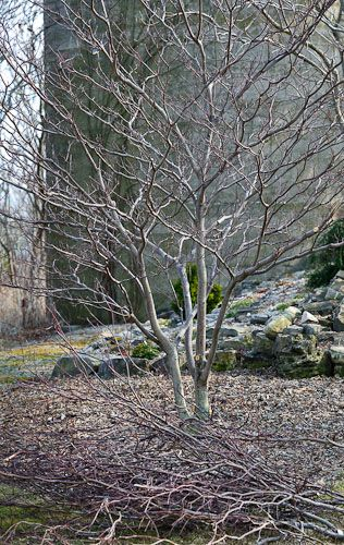 Paa Dogwood Pruned With Images