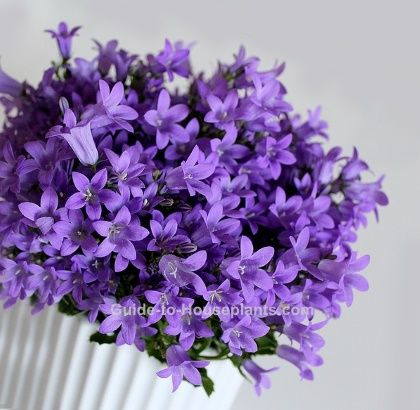 Campanula Flowers Look Best Spilling Over A Tall Pot Or A Hanging Basket Campanula Isophylla Is A Trailing Campanula Flowers Bellflower Plant Trailing Flowers
