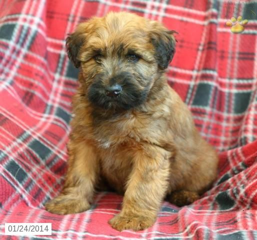 Toby Soft Coated Wheaten Terrier Puppy for Sale in