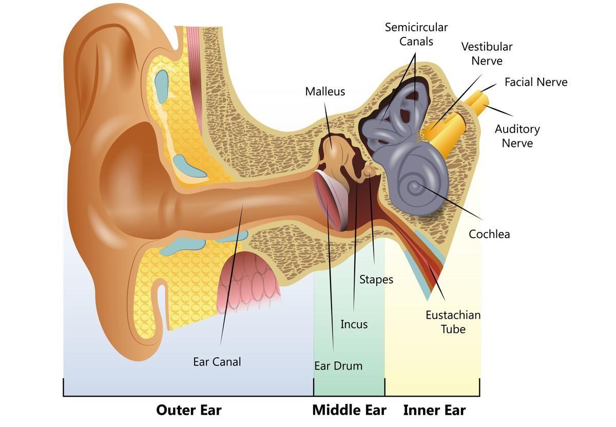 Human Ear Diagram Human Ear Ear Diagram Human Ear Diagram