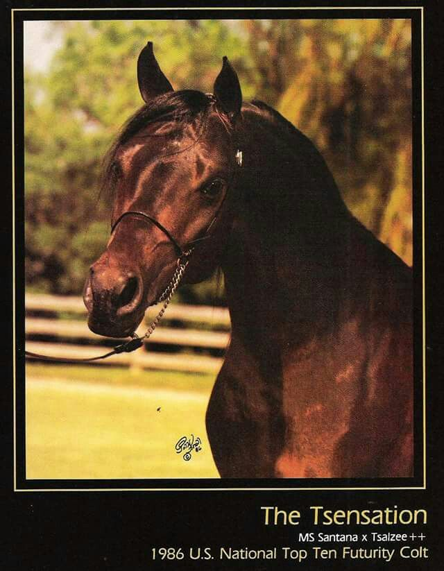 The Tsensation Ms Santana X Tsalzee V Tsatyr Born 1983 Owned By Dr James A Rooker And Dr James F Johnson Arabian Horse Horses Arabians
