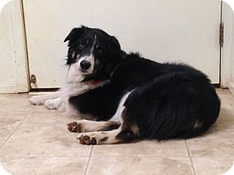 North Of Sacramento Ca Border Collie Mix Meet Willie A Dog For Adoption Http Www Adoptapet Com Pe Border Collie Mix Dog Adoption Border Collie