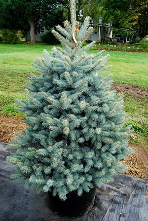 Picea Pungens Baby Blue Eyes Colorado Blue Spruce Colorado Blue Spruce Plants Unique Plants