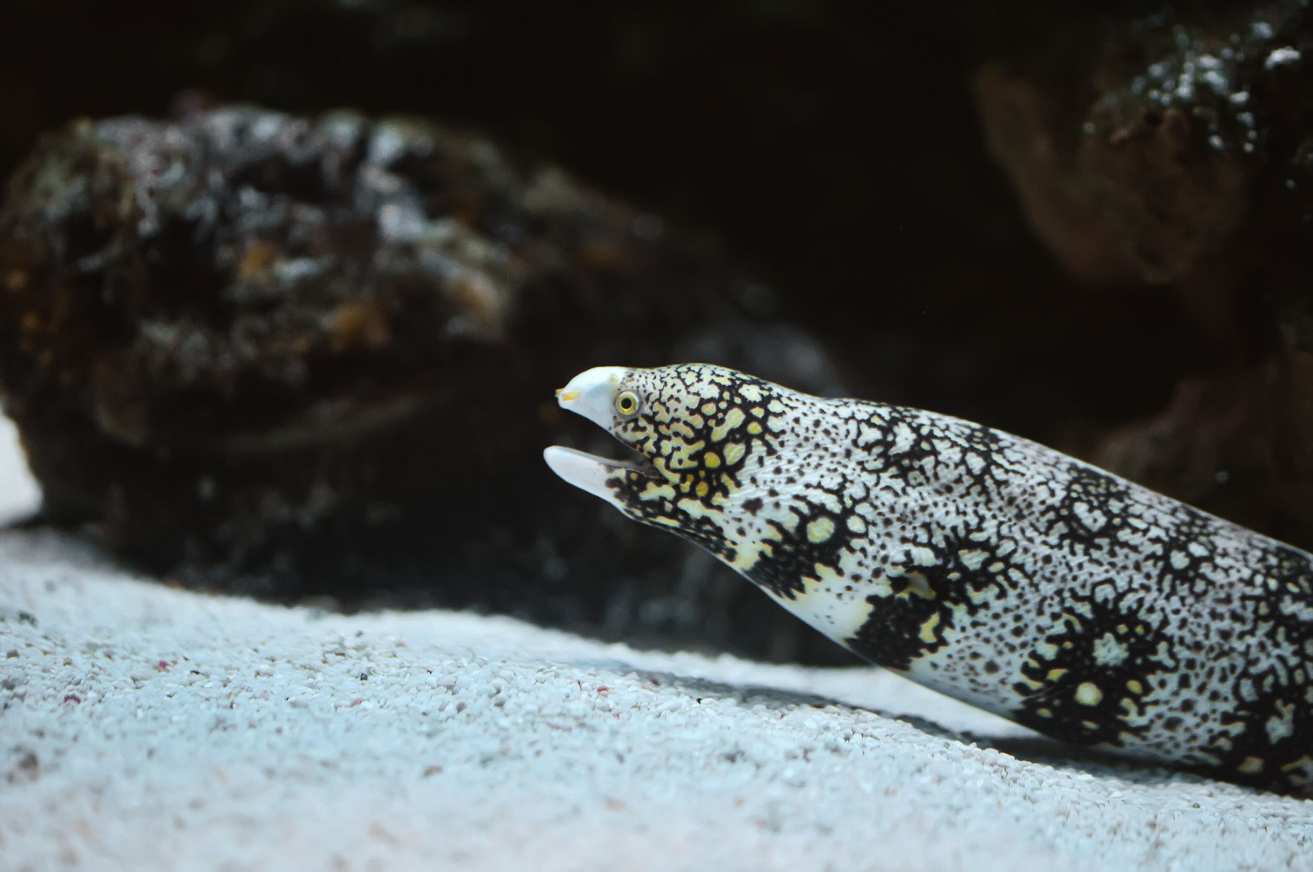 Snowflake Moray Eel Resting On Sandy Bottom Jpg Moray Eel Marine Fish Saltwater
