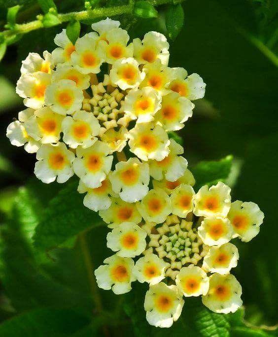 Yellow Lantana Flores Maravilhosas Belas Flores Arbustos