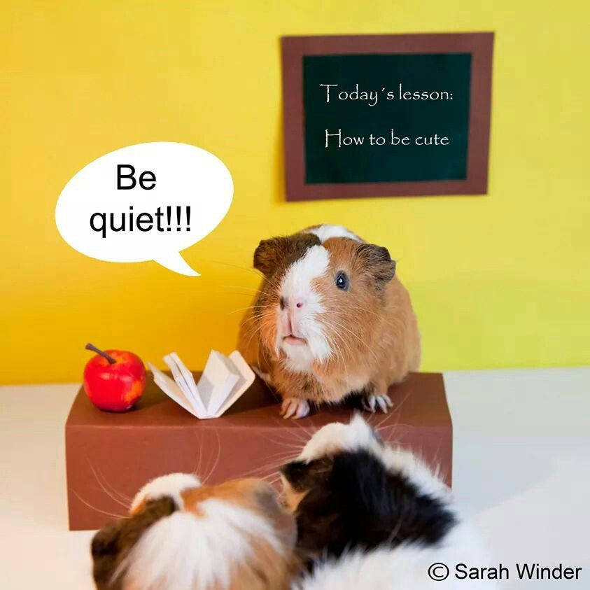 Guinea Pigs, being cute...