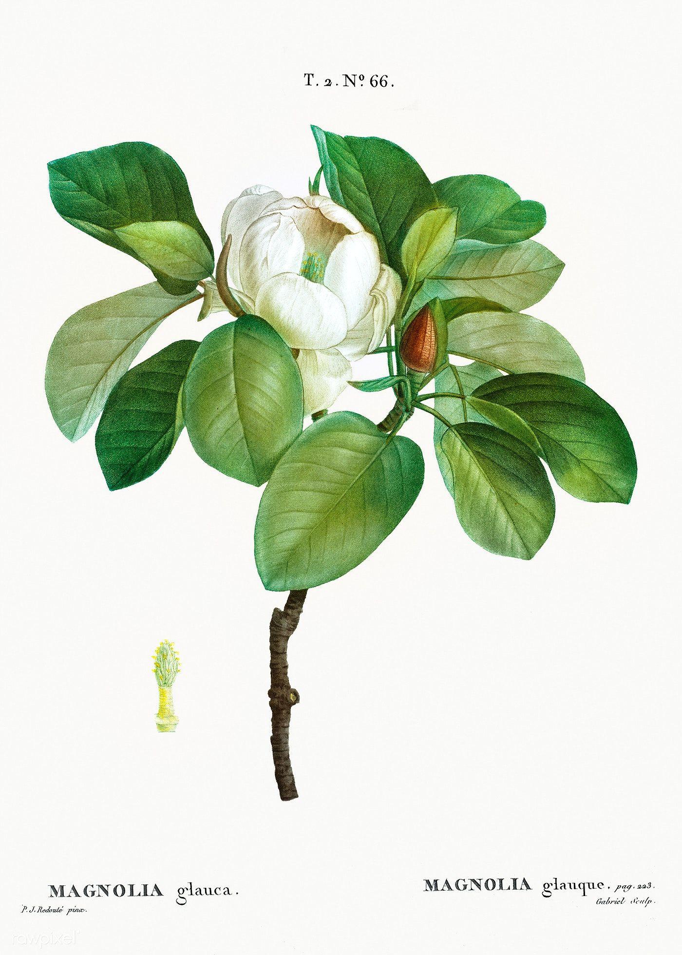 Magnolia Magnolia Glauca From Trait Eacute Des Arbres Et Arbustes Que L Rsquo On Cultive En France Botanical Art Prints Botanical Illustration Illustration