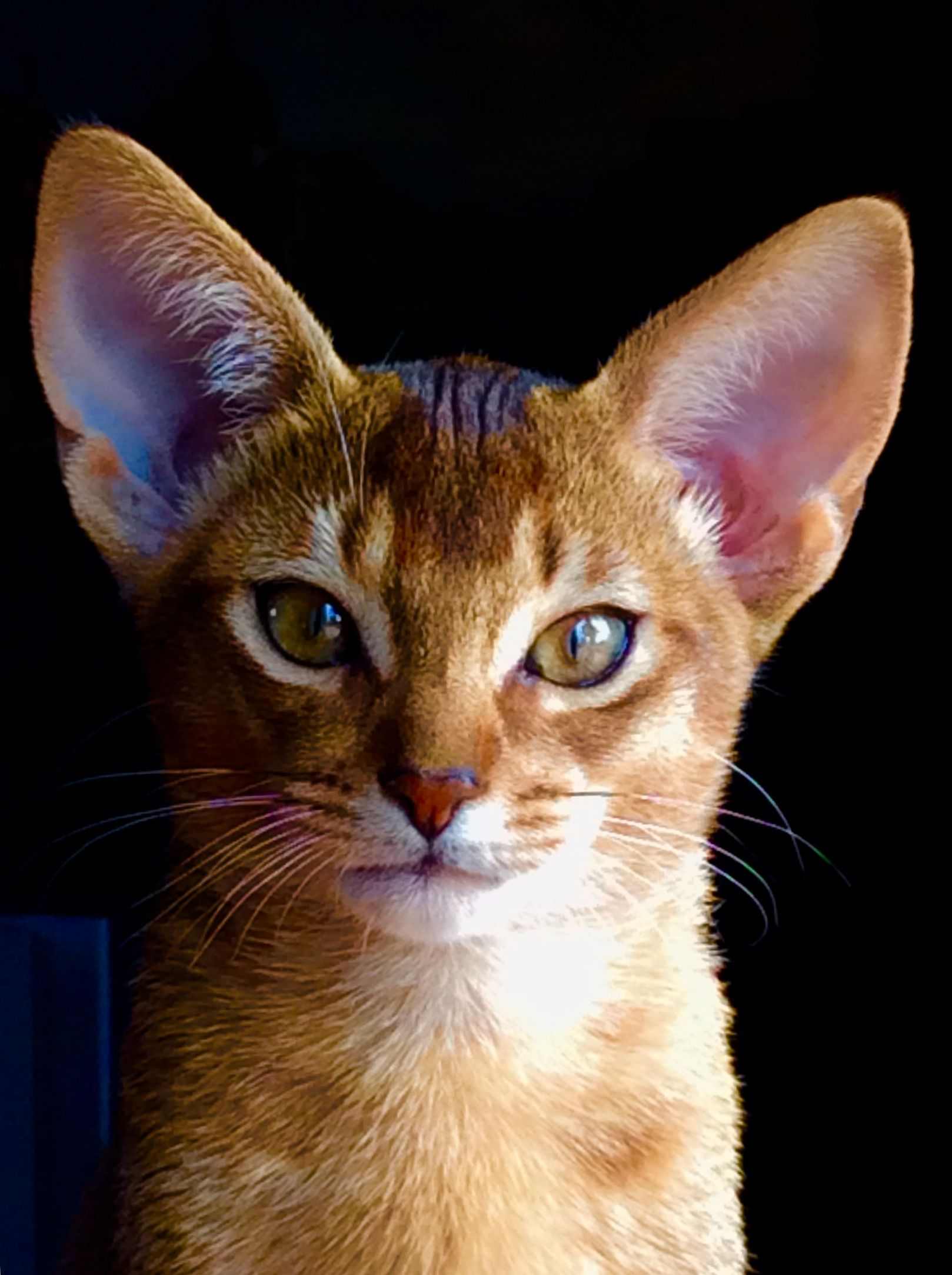 Pin by Debby Lockwood on I love abbys | Pinterest | Abyssinian ...