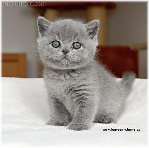 Britsh Blue Cats British Shorthair Blue Kittens In Vendita