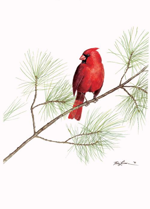 Watercolor Cardinal Images Tim Larson Art Wildlife Prints