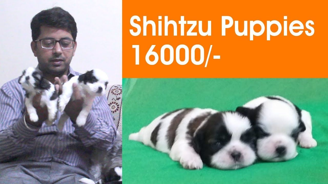 Presenting Shihtzu Puppies In Chandigarh And Jalandhar City