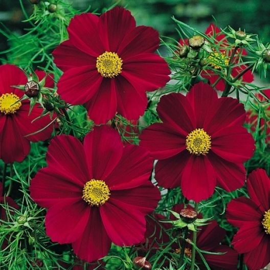 Cosmos Seeds Versailles Tetra Red Annual Flowers Heat Tolerant Flowers Flower Seeds