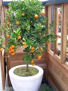 Naranjo en una jardinera, no necesitas que esté plantado en el suelo! #jardineras #macetas