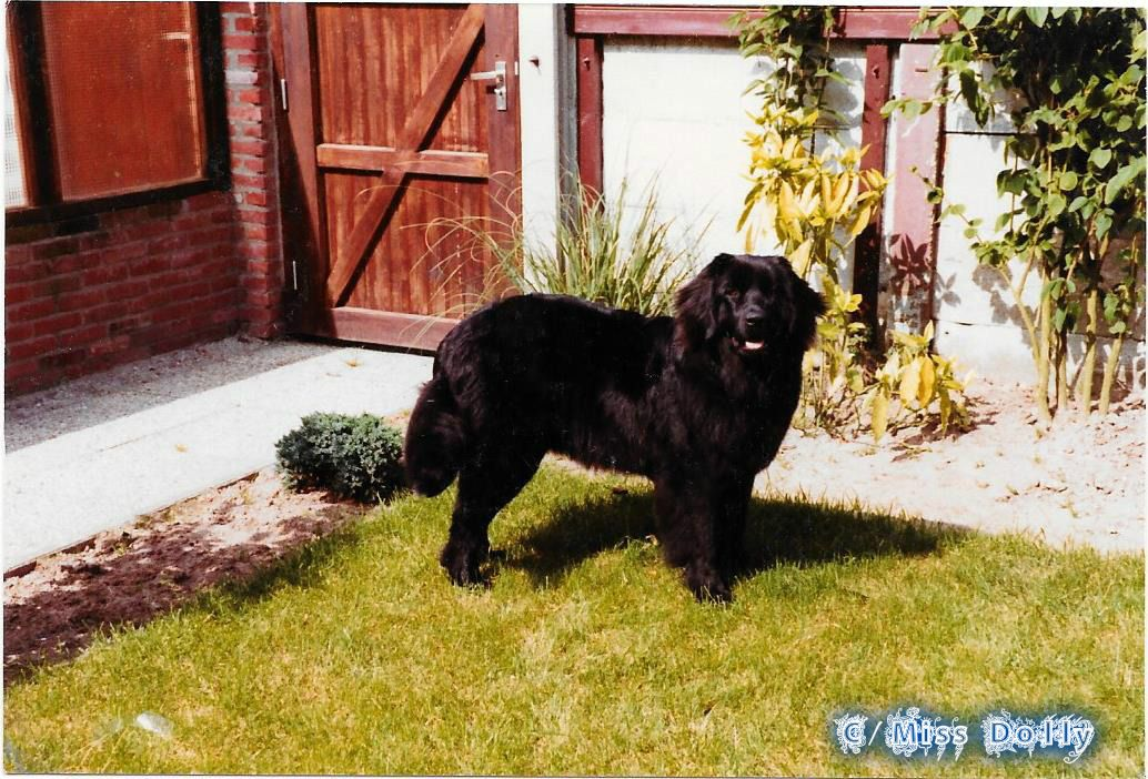 Our Beautiful Newfie <3 Angel <3 Miss Dolly <3  born in 1982 died in 1992 <3