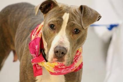 NAME: Carmelia ANIMAL ID: 25133280 BREED: Pit SEX: female EST. AGE: 2 yr Est Weight: 48 lbs Health: heartworm neg Temperament: dog friendly, people friendly. ADDITIONAL INFO: RESCUE PULL FEE: $49 Intake date: 3/10 Available: Now