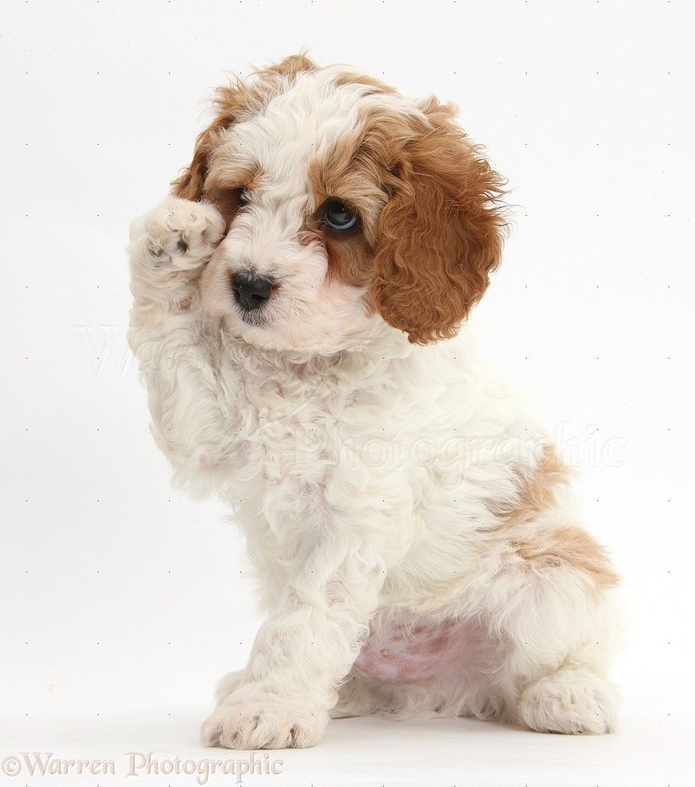 Cute Red And White Cavapoo Puppy 6 Weeks Old Cavapoo Puppies