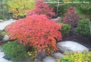 Acer Japonicum Green Cascade In Fall Colors This Full Moon Maple