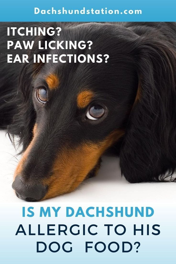 Itchy Dachshund Allergies 3 Solutions That Can Help Dachshund Station In 2020 Dog Allergies Dog Flea Treatment Dog Sneezing