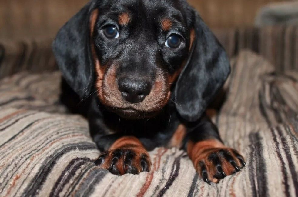 88 Male Dachshund Dog Names Dachshund Dog Dog Names