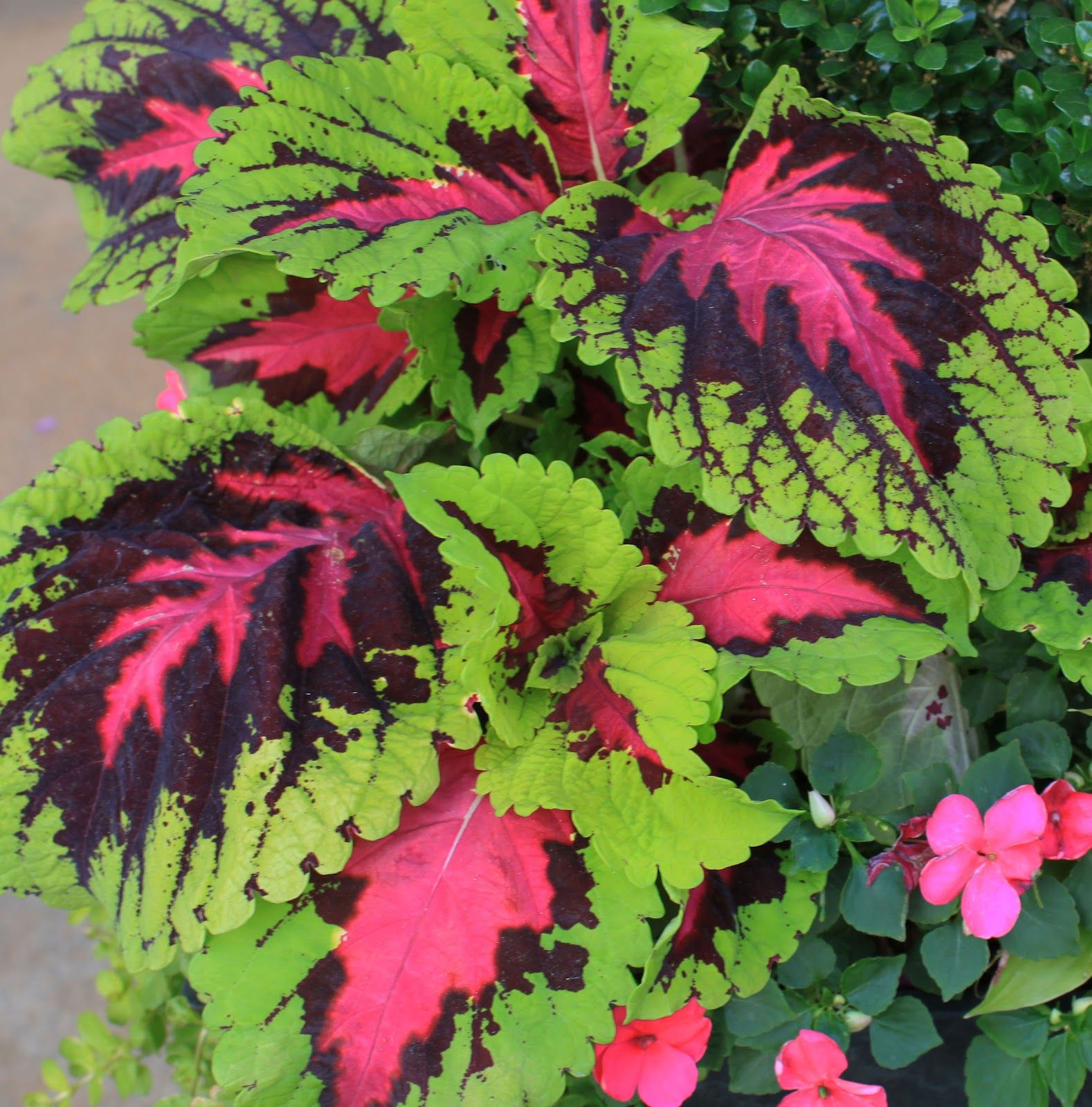 coleus in pots | ... Containers in Madison, Georgia: Kong Coleus - A ...