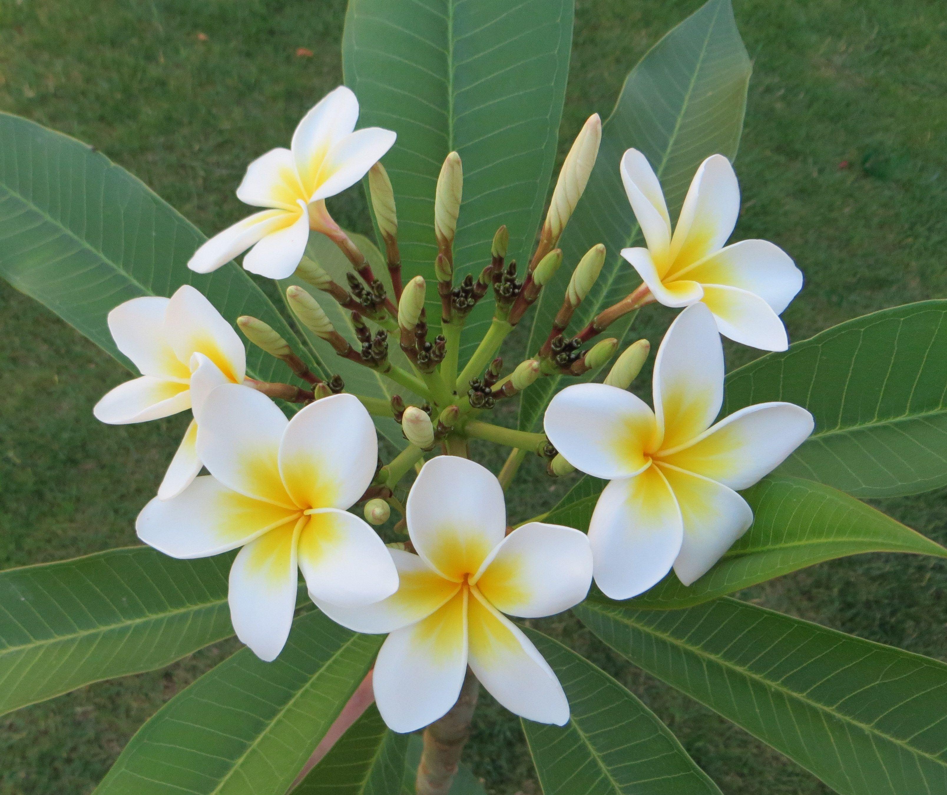 Plumeria Alba Desert Garden Frangipani Plumeria