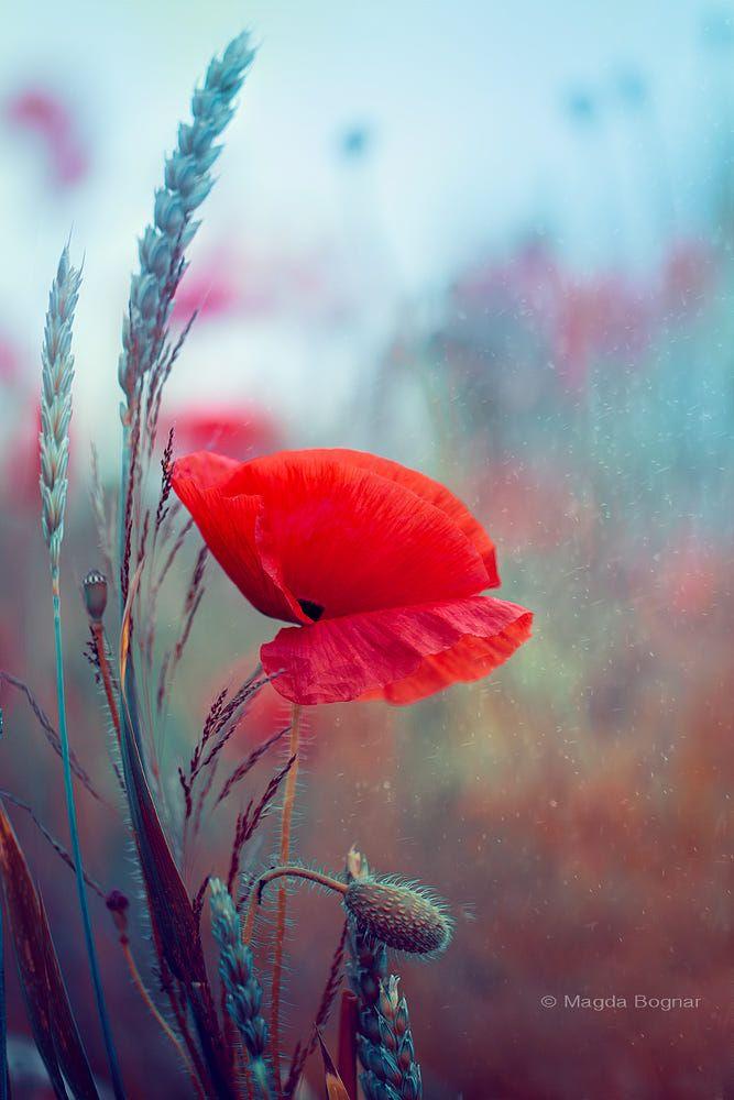Poppy By Magda Bognar On 500px Mohnblume Natur Blumenbilder