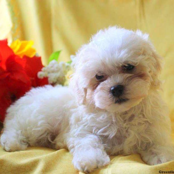 Opal Havapoo Puppy For Sale In Pennsylvania Havapoo Puppies Puppies Cute Animals