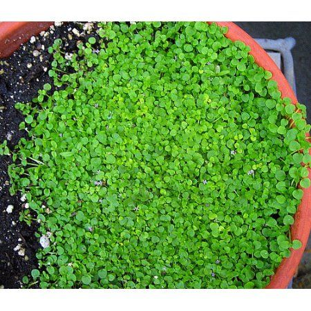 Patio Garden Corsican Mint Mint Herb Plants