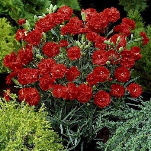 Carnation Grenadin Scarlet Flower Seeds Dianthus Caryophyllus 50 Seeds Garden Plants For Sale Flower Seeds Fragrant Garden