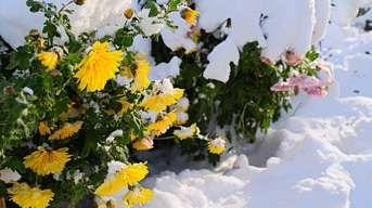 Ako sa postarať o chryzantémy po odkvitnutí: Chráňte ich pred mrazom