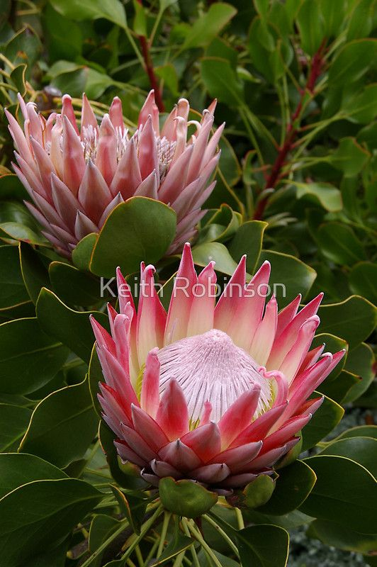 Photograph Of Protea Taken In The Blue Mountains Nsw Australia Buy This Artwork On Stationery And Wall Protea Flower Australian Flowers Flowers Photography