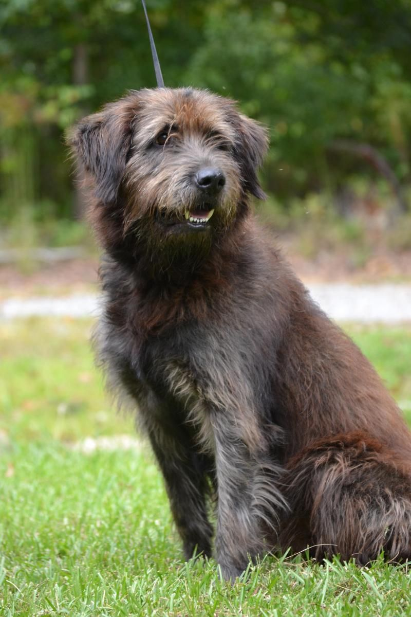 Irish Wolfhound Chocolate Lab Mix