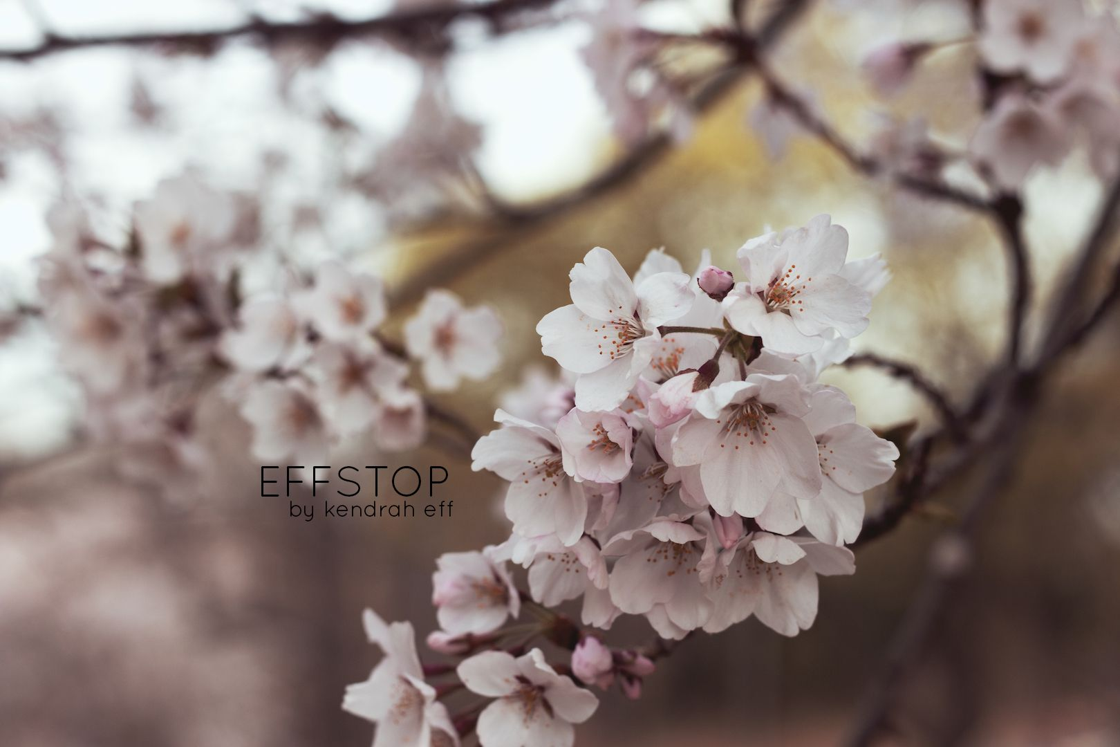 Beautiful Cherry Blossom Trees In High Park Toronto Ontario Prints Available Pretty Pictures Picture Places Pictures For Sale