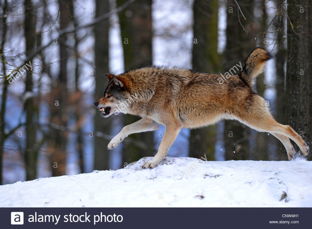 Timber Wolf Canis Lupus Lycaon Snarling And Threatening In The Snow Stock Photo In 2020 Timber Wolf Wolf Wolves Photography