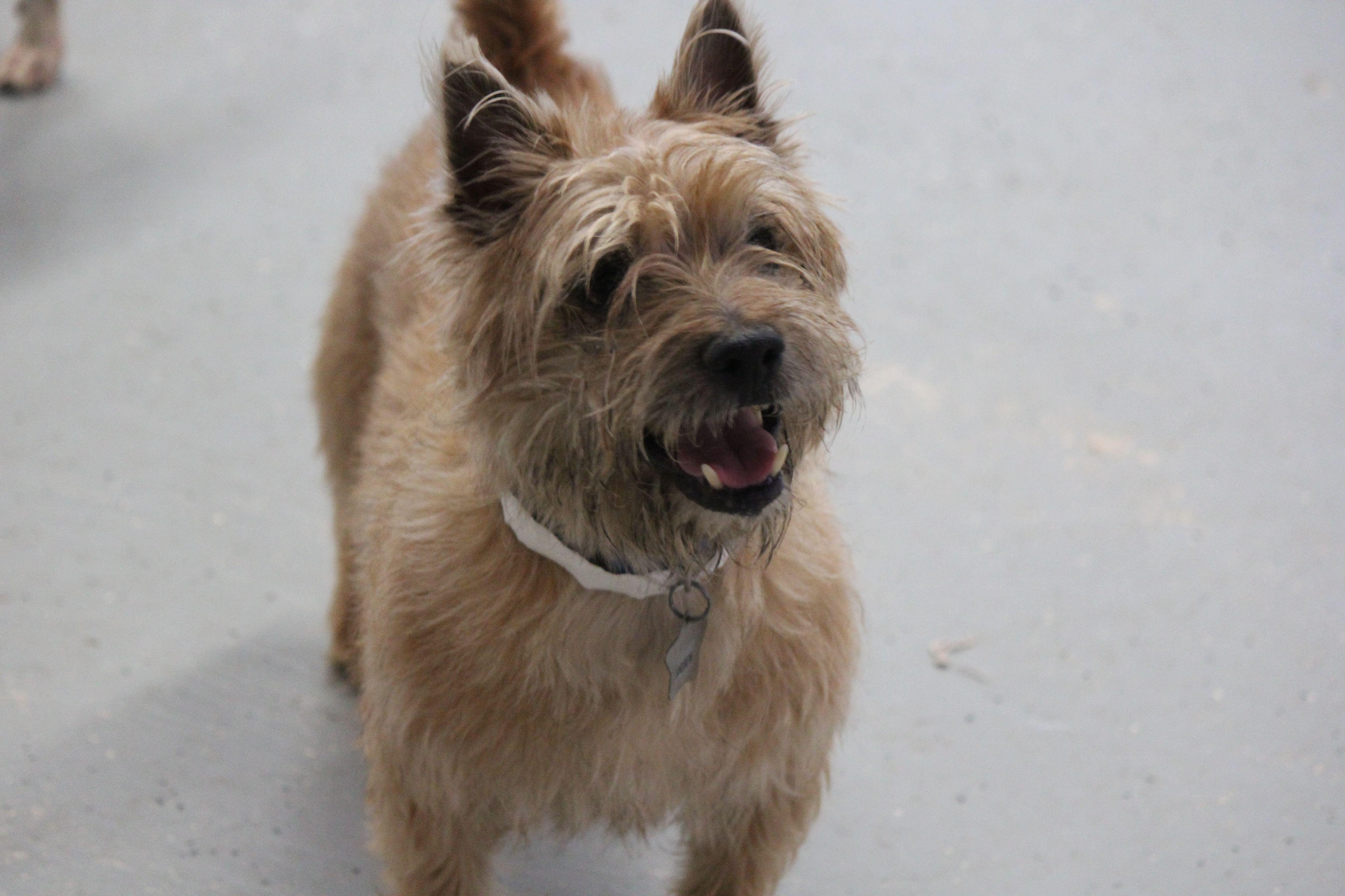 Cairn Terrier dog for Adoption in Phoenix , AZ. ADN-508115 on ... | Cairn Terrier Puppies Phoenix Az