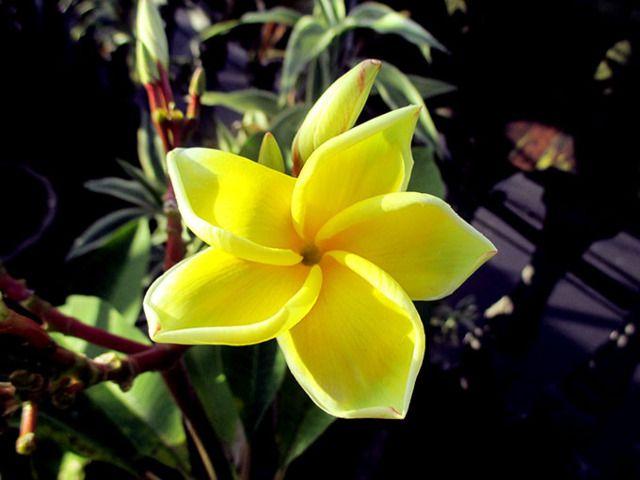 7/5(火)バリ島ウブドのお天気は晴れ。室内温度27.7℃、湿度64%。ちょっと変わったプルメリアの花を見つけました。花びらがクルンっと巻いていてカワイイ♪