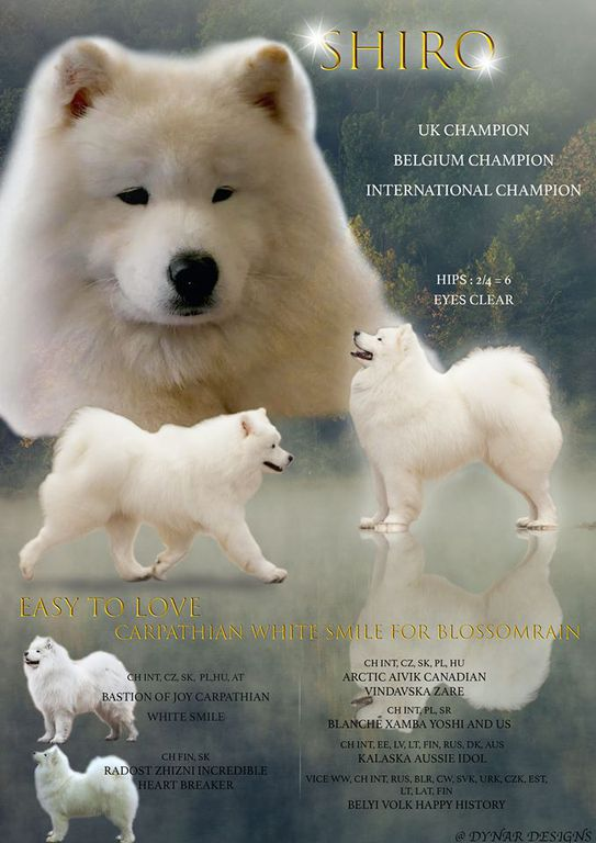Samoyed Stud Dog Int Ch Uk Ch Bel Ch In Uk 7 In 2020 Stud Dog Pug Puppies For Sale Gsd Puppies For Sale